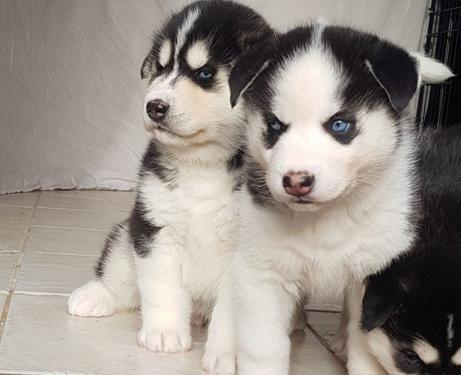 Xxxx most wanted blue eyes huskies for rehoming
