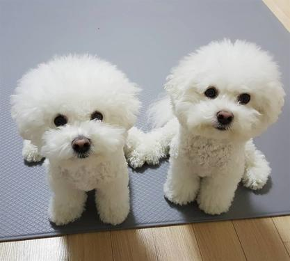 Beautiful male and female bichon frise puppies for sale