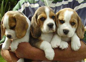 Lovely and cute male and female beagle puppies for sale