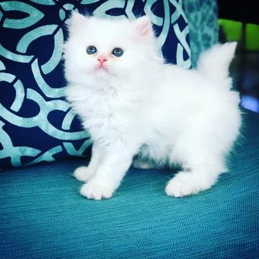 Cute persian kittens for adoption2