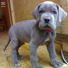 Great dane puppies for adoptiond