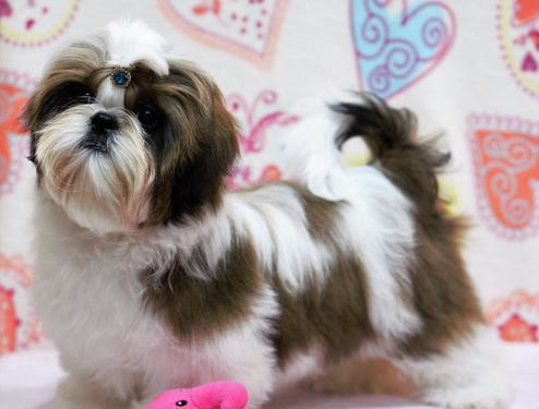 Excellent quality shihtzu puppies available in bangalore