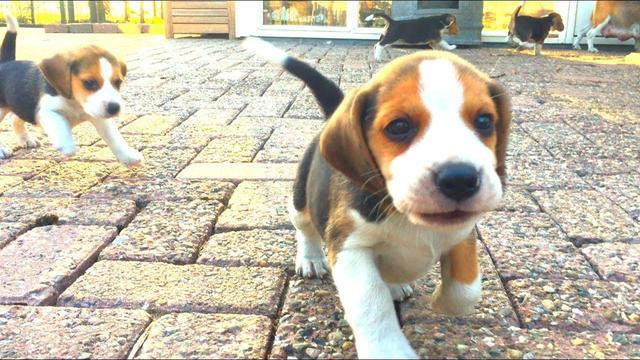 Pretty beagle puppies for adorable home