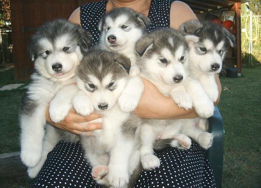 Cute male and female alaskan malamute puppies for sale