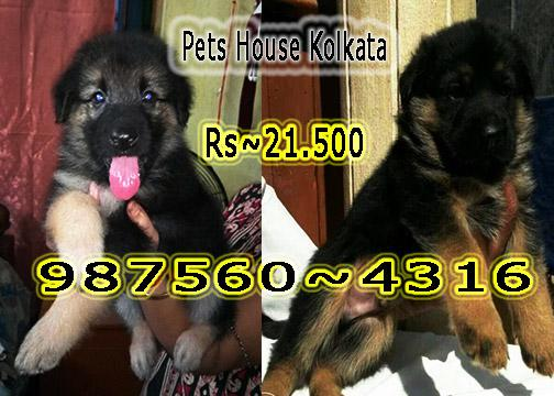 German shepherd doable coated dog puppies sale at pets house