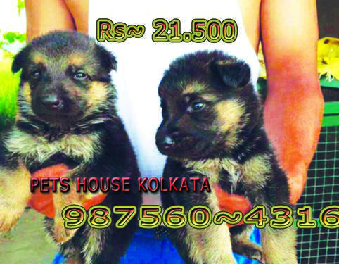 Imported quality doable coat german shepherd dogs at sikkim