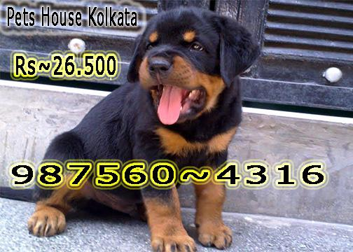Imported quality rot wailer dogs puppies sale at shillong