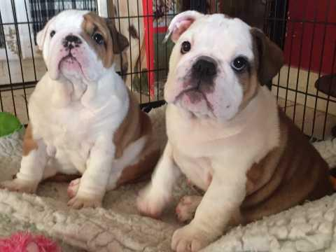 Beautiful male and female english bulldog puppies for sale