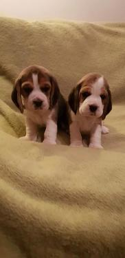 Beautiful male and female beagle puppies puppies available