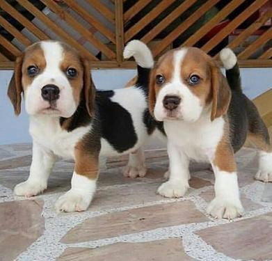 Adorable male and female beagle puppies for sale we have lo
