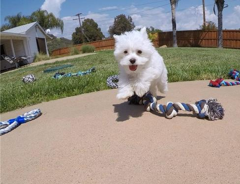 Intelligent maltese pups adoption