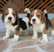 Cute and adorable beagle puppies