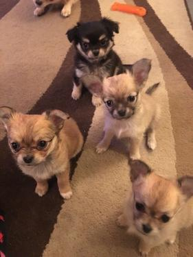 Lovely litter of chihuahua puppies ready now for there forev