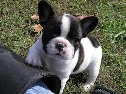 Quality kc reg french bulldogs for sales
