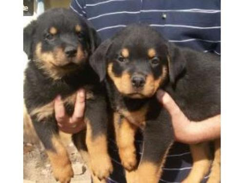 Rottweiler pups for sale sired a huge male titan von