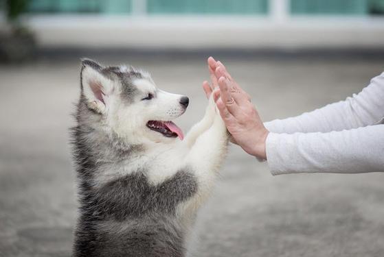 Siberian huskey dogs ready for adoption