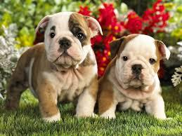Three chunky females englishbulldogs and 2males left