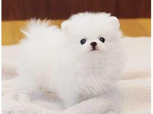 Two awesome tcup pomeranian puppies