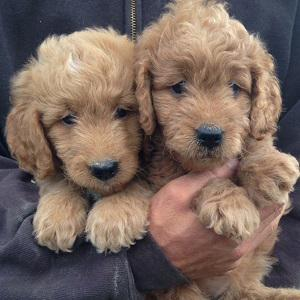 We have beautiful and adorable golden doodle puppies for sal