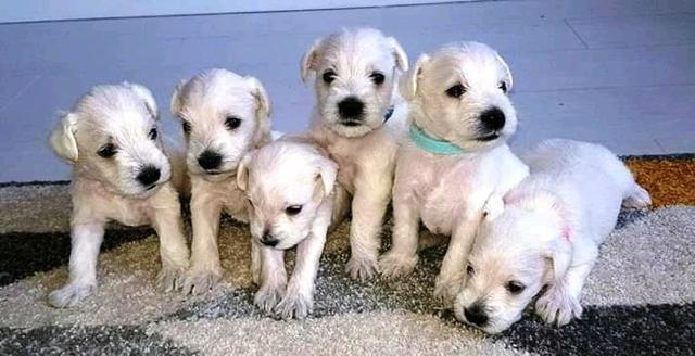 Home raised male and female schnauzer puppies for sale