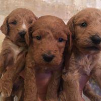 Lovely male and female cavapoos puppys for sell t