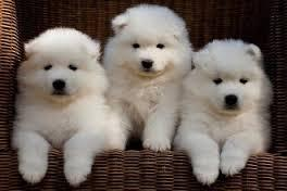 Kci registered pure breed healthy samoyed puppies available