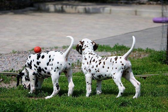 Lovely and cute dalmatian male and female puppies for sale