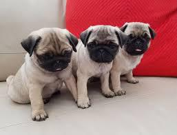 Beautiful male and female colina pug for sale the puppies