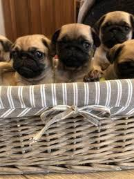 Beautiful male and female colina pug puppies for sale the p