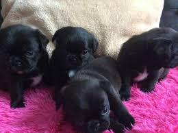 Adorable male and female colina pug puppies for sale the pu