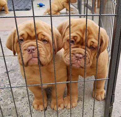 Cute and lovely french mastiff puppies male and female for s