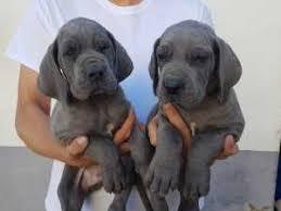Stunning great dane male and female puppies for sale