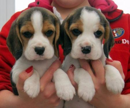 Adorable beagle puppies for sale kci registered and vaccinat