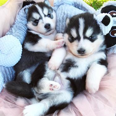 Two cute siberian husky puppies for adoption