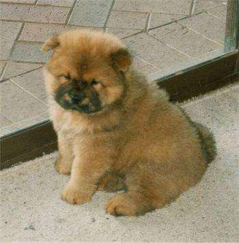 Excellent quality chow chow puppies ready to sale at maa jag