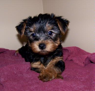 Excellent quality yorkshiere terrier puppies ready to sale a