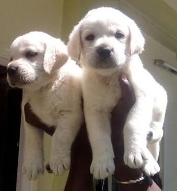 Cute kci registered labrador retriever puppies for salew