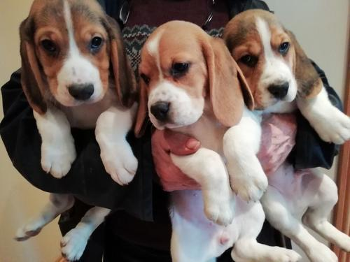 Stunning beagle male and female puppies for rehoming a