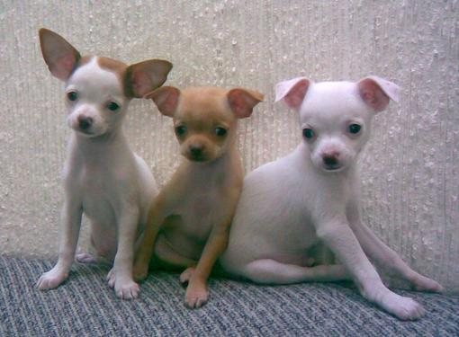 Pedigree chihuahua male and female puppies for rehoming ad