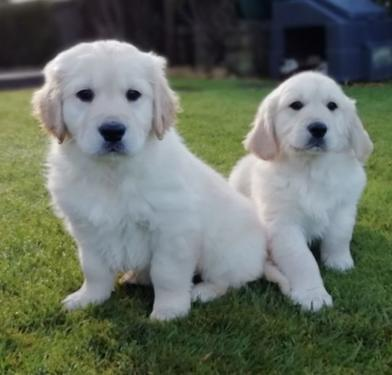 Pedigree golden retriever male and female puppies 4 rehoming