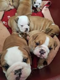 English bulldog puppies for sale kci registered and vaccina