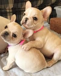 Cute french bulldog puppies for sale kci registered and vacc