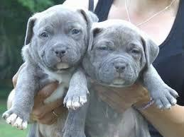 Male and female american bull dog puppies for sale puppies