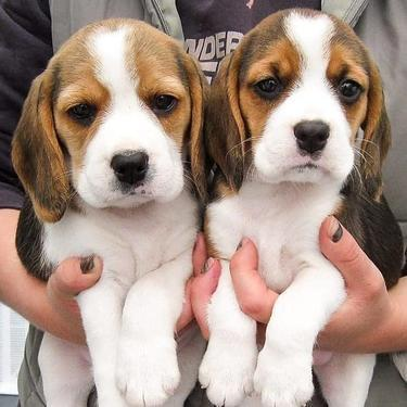 Beautiful beagle male and female puppies for sale