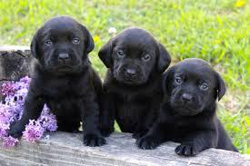 Lovely labrador male and female puppies for sale