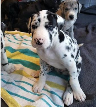 Good looking great dane puppies for sale kci registered and