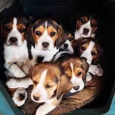 Adorable and lovely beagle puppies for sale kci registered