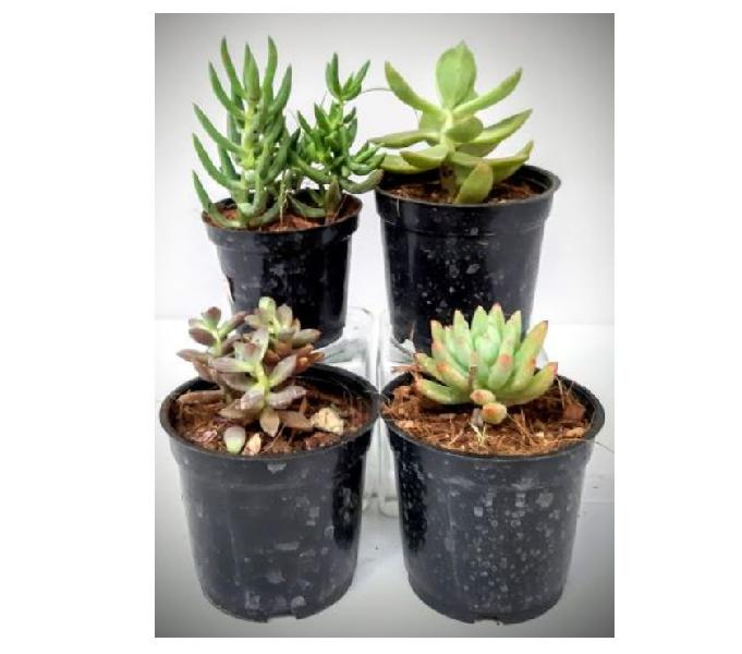 Succulent plants - succulent plants online - buy succulents