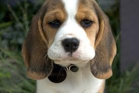 Sweet beagle puppies for sale