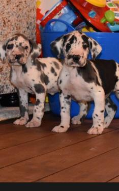 Male and female grate dane puppies for sale